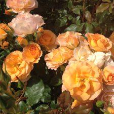 Defilee der Rosen im Park Cervantes